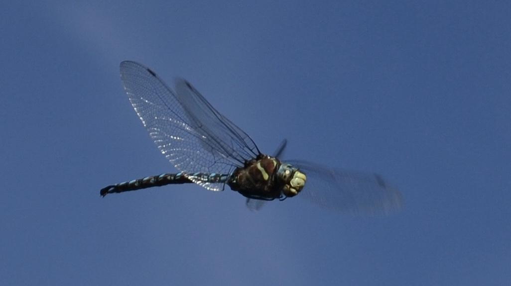 Gold Lake dragonfly