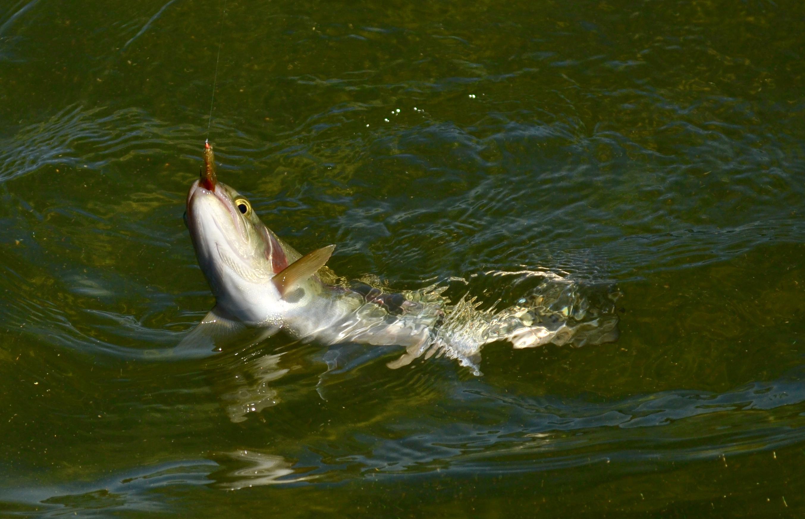 Gold Lake trout